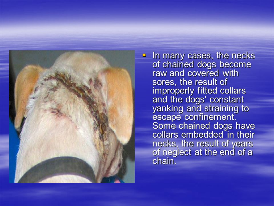 IIIIn many cases, the necks of chained dogs become raw and covered with sores, the result of improperly fitted collars and the dogs constant yanking and straining to escape confinement.