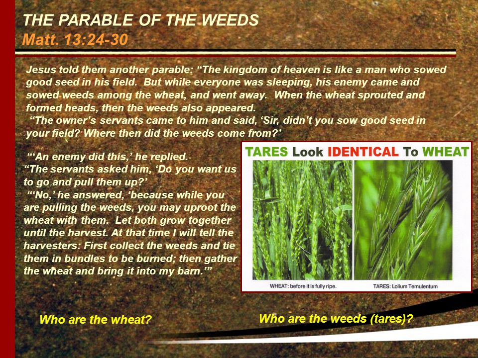 THE PARABLE OF THE WEEDS Matt. 13:24-30 Who are the wheat.