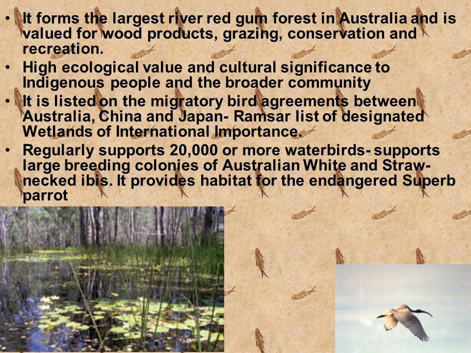 It forms the largest river red gum forest in Australia and is valued for wood products, grazing, conservation and recreation. High ecological value an