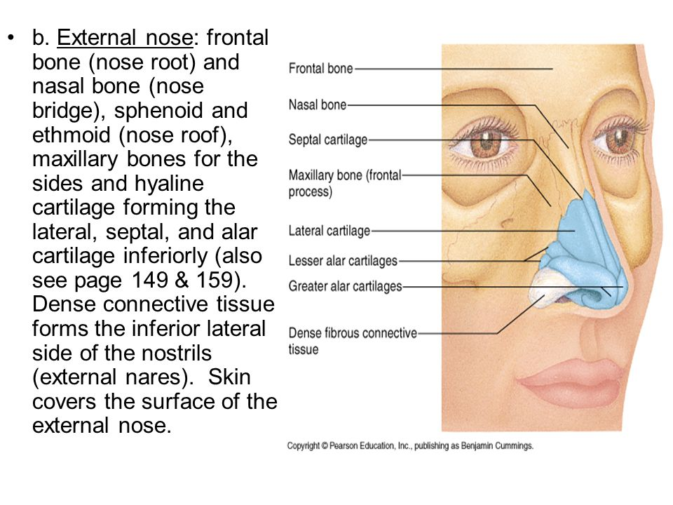 b. External nose: frontal bone (nose root) and nasal bone (nose bridge), sphenoid and ethmoid (nose roof), maxillary bones for the sides and hyaline c