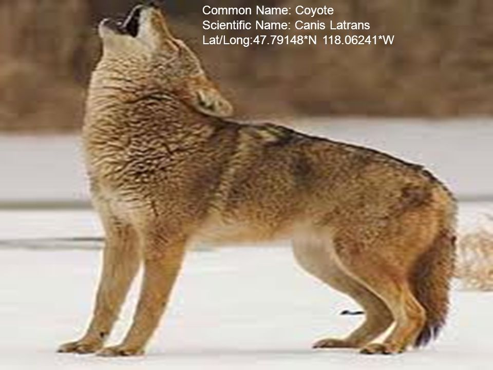 Common Name: Coyote Scientific Name: Canis Latrans Lat/Long:47.79148*N 118.06241*W