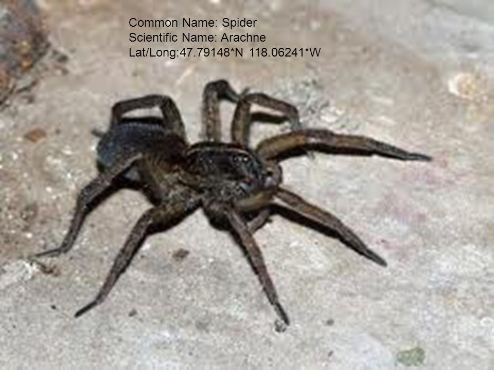 Common Name: Spider Scientific Name: Arachne Lat/Long:47.79148*N 118.06241*W
