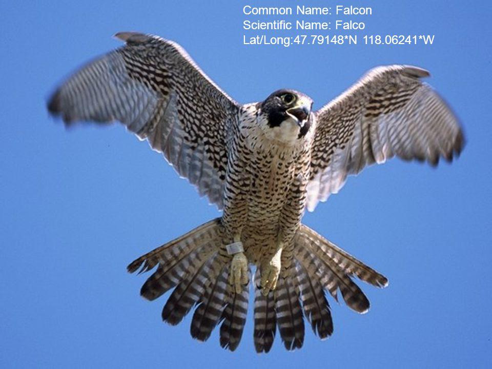 Common Name: Falcon Scientific Name: Falco Lat/Long:47.79148*N 118.06241*W