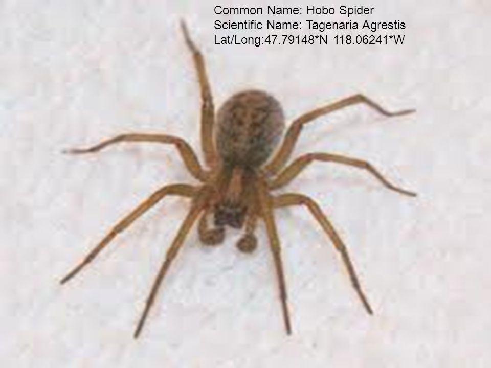 Common Name: Hobo Spider Scientific Name: Tagenaria Agrestis Lat/Long:47.79148*N 118.06241*W