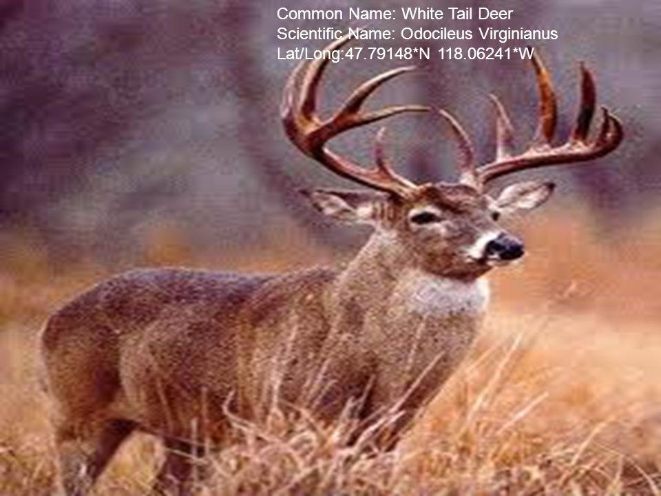 Common Name: White Tail Deer Scientific Name: Odocileus Virginianus Lat/Long:47.79148*N 118.06241*W