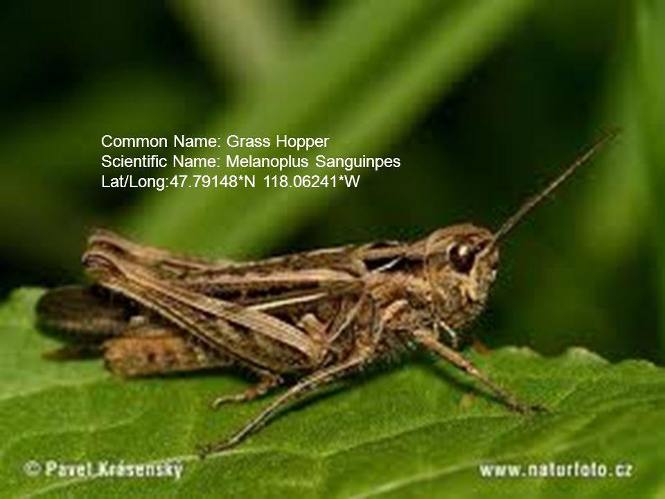 Common Name: Grass Hopper Scientific Name: Melanoplus Sanguinpes Lat/Long:47.79148*N 118.06241*W