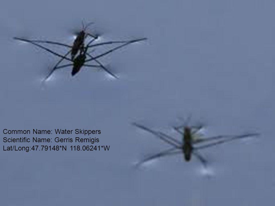 Common Name: Water Skippers Scientific Name: Gerris Remigis Lat/Long:47.79148*N 118.06241*W