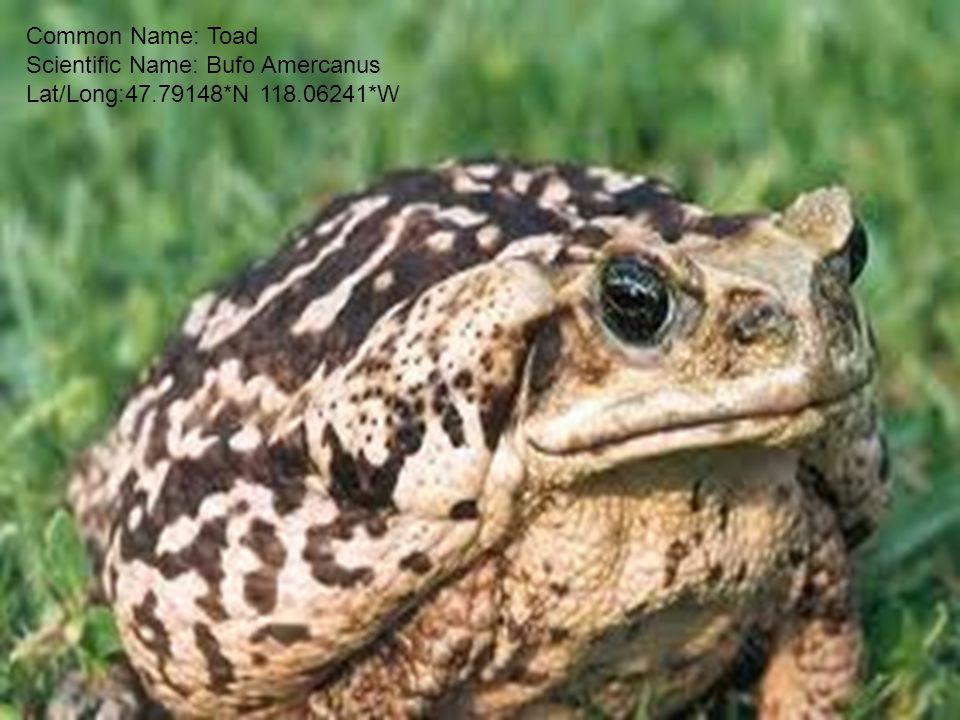 Common Name: Toad Scientific Name: Bufo Amercanus Lat/Long:47.79148*N 118.06241*W