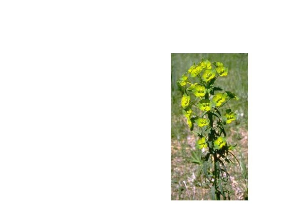 Leafy Spurge Common Name: Leafy Spurge Scientific Name: Euphorbia Esula Lat/Long:47.79148*N 118.06241*W