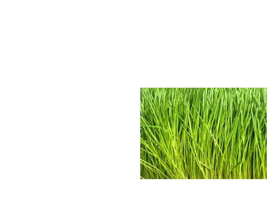 Wheat Grass Common Name: Wheat Grass Scientific Name: Eltryigia Elongata Lat/Long:47.79148*N 118.06241*W