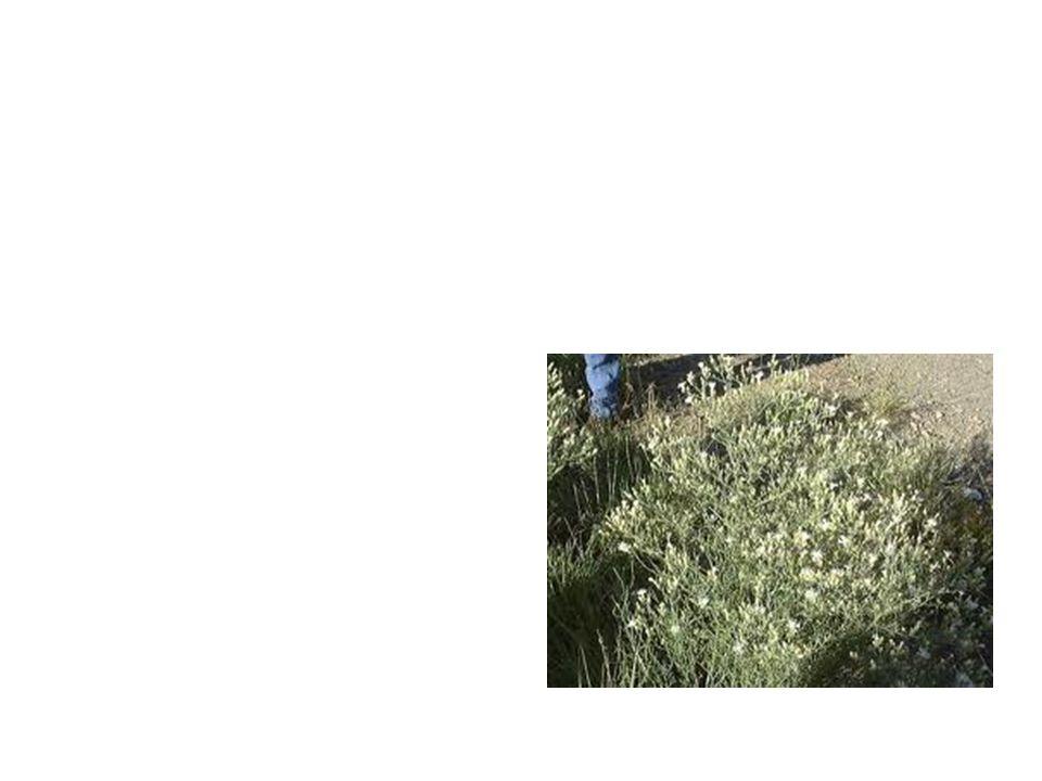 Defuse Nap Weed Common Name: Defuse Nap Weed Scientific Name: Centaurea Diffusa Lat/Long:47.79148*N 118.06241*W