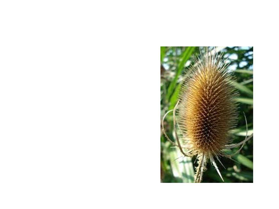 Teasel Common Name: Teasel Scientific Name: DipSacus Repens Lat/Long:47.79148*N 118.06241*W