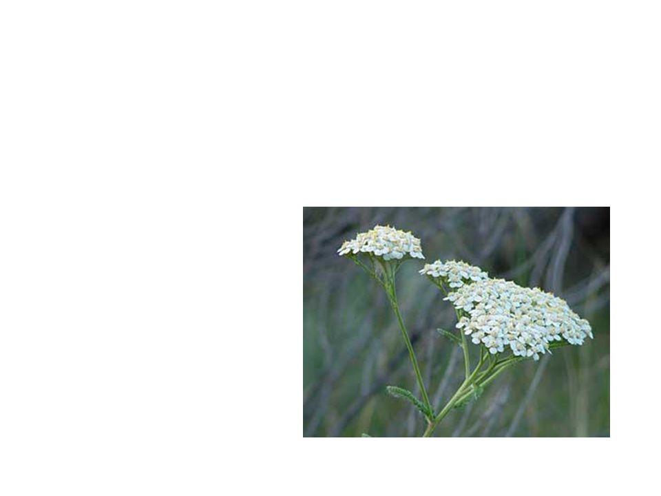 Yarrow Common Name: Yarrow Scientific Name: Achillea Millefolium Lat/Long:47.79148*N 118.06241*W
