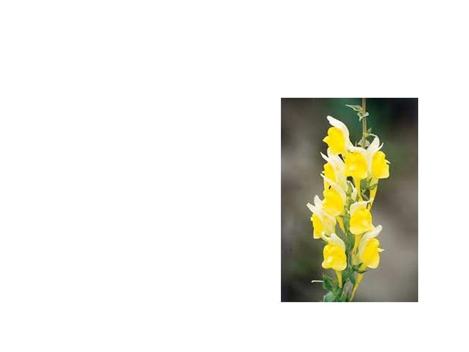 Dalmation toad Flax Common Name: Dalmation Toad Flax Scientific Name: Linaria Dalmatica Lat/Long:47.79148*N 118.06241*W