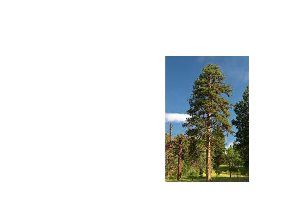 Ponarosa Pine Common Name: Ponarosa Pine Scientific Name: Pinus Poarosa Lat/Long:47.79148*N 118.06241*W