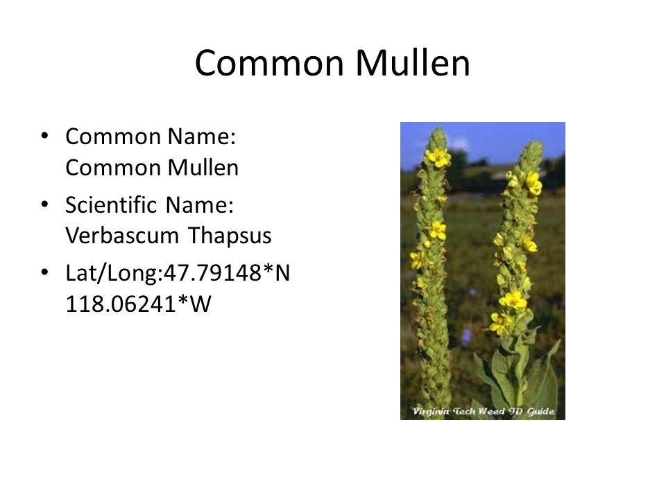 Common Mullen Common Name: Common Mullen Scientific Name: Verbascum Thapsus Lat/Long:47.79148*N 118.06241*W