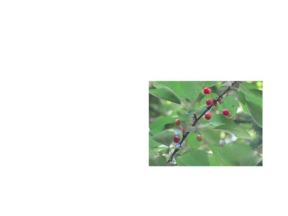 Choke Cherry Tree Common Name: Choke Cherry Tree Scientific Name:Prunus Virginiana Lat/Long:47.79148*N 118.06241*W