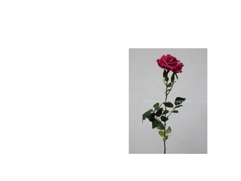 Wild Rose Common Name: Wild Rose Scientific Name: Acicularis Lat/Long:47.79148*N 118.06241*W