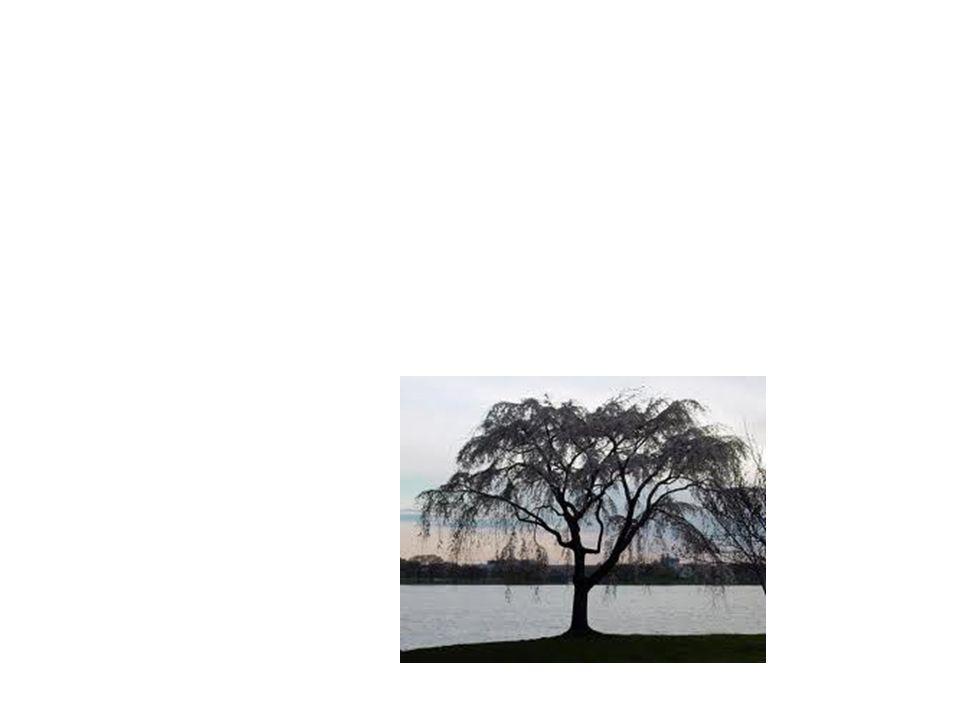Willow Tree Common Name: Willow Tree Scientific Name: Salix Matsudana Tortosa Lat/Long:47.79148*N 118.06241*W