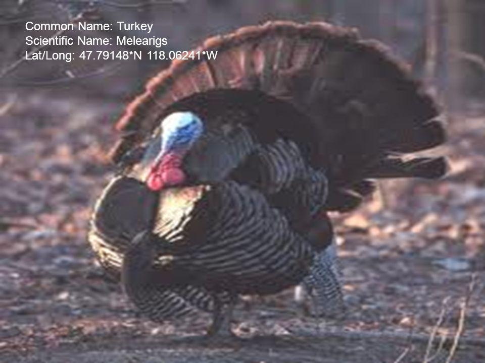 Common Name: Turkey Scientific Name: Melearigs Lat/Long: 47.79148*N 118.06241*W