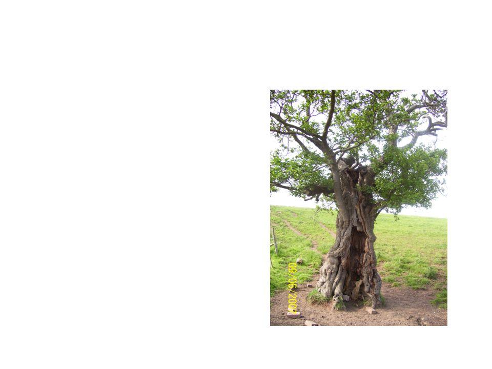 Alder Tree Common Name: Alder Tree Scientific Name: Alnus Rubra Lat/Long:47.79148*N 118.06241*W