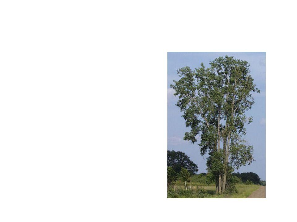 Cotton Wood Common Name: Cotton Wood Scientific Name: Populus Deltoides Lat/Long:47.79148*N 118.06241*W