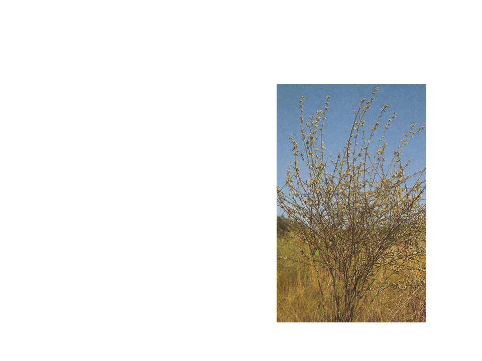 Skeleton Weed Common Name: Skeleton Weed Scientific Name: Chondrilla Juncea Lat/Long:47.79148*N 118.06241*W
