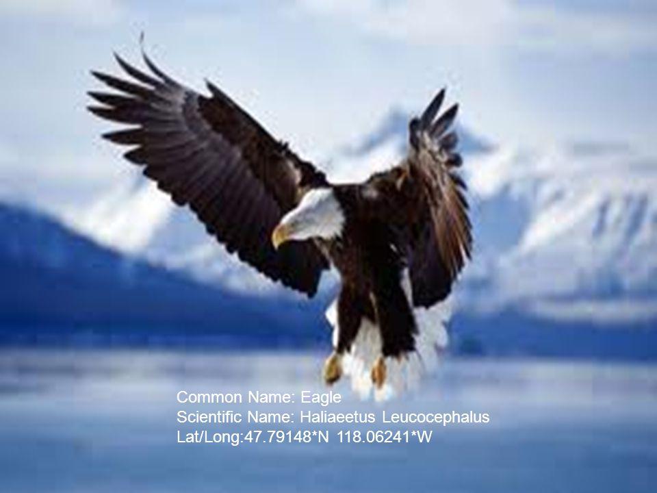 Common Name: Eagle Scientific Name: Haliaeetus Leucocephalus Lat/Long:47.79148*N 118.06241*W