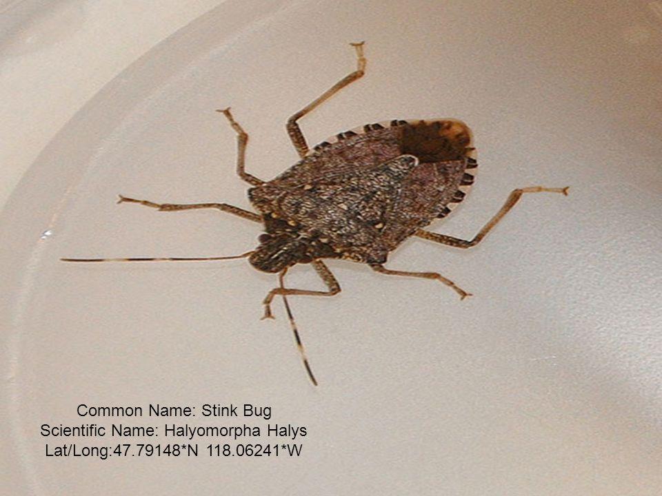 Common Name: Stink Bug Scientific Name: Halyomorpha Halys Lat/Long:47.79148*N 118.06241*W