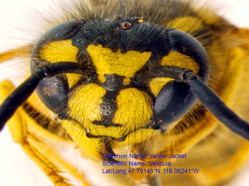Common Name: Yellow Jacket Scientific Name: Vespula Lat/Long:47.79148*N 118.06241*W