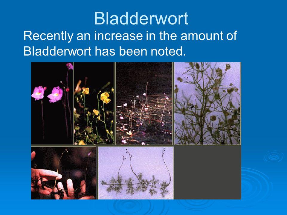 Bladderwort Recently an increase in the amount of Bladderwort has been noted.