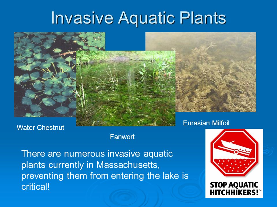 Invasive Aquatic Plants Water Chestnut Fanwort Eurasian Milfoil There are numerous invasive aquatic plants currently in Massachusetts, preventing them