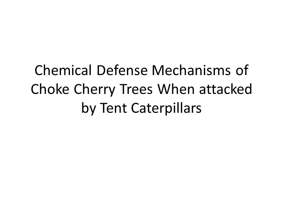 Chemical Defense Mechanisms of Choke Cherry Trees When attacked by Tent Caterpillars