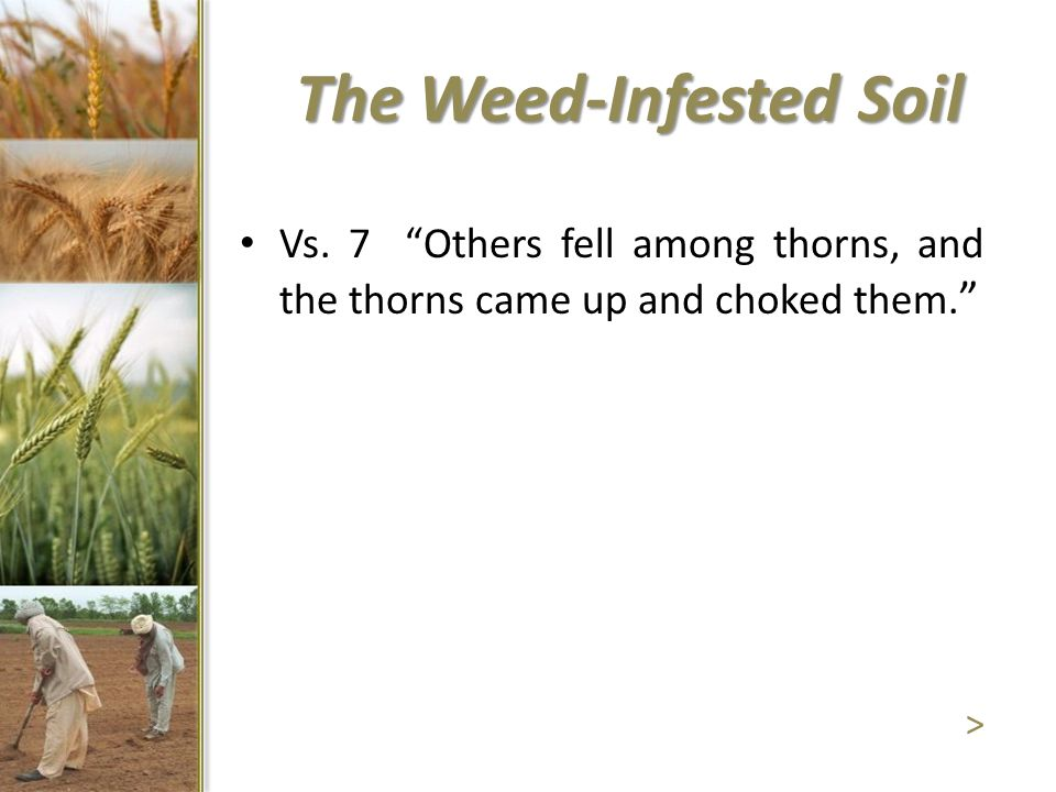 Vs. 7 Others fell among thorns, and the thorns came up and choked them. > The Weed-Infested Soil