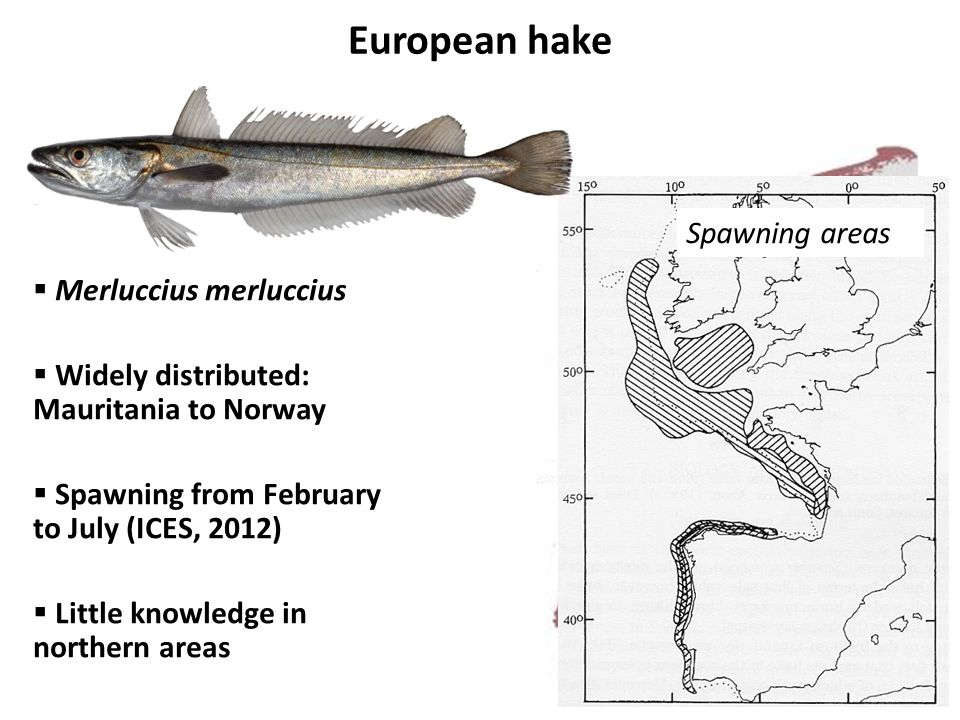 European hake  Merluccius merluccius  Widely distributed: Mauritania to Norway  Spawning from February to July (ICES, 2012)  Little knowledge in northern areas Distribution Spawning areas