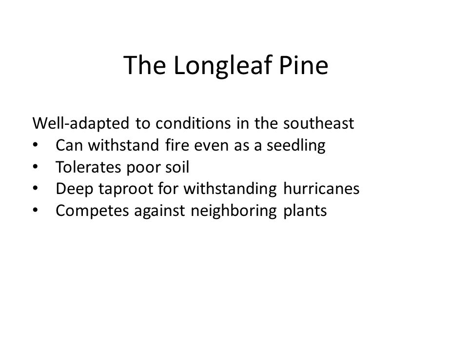 The Longleaf Pine Well-adapted to conditions in the southeast Can withstand fire even as a seedling Tolerates poor soil Deep taproot for withstanding