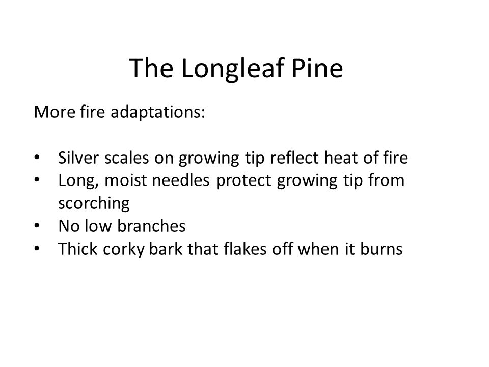 The Longleaf Pine More fire adaptations: Silver scales on growing tip reflect heat of fire Long, moist needles protect growing tip from scorching No l