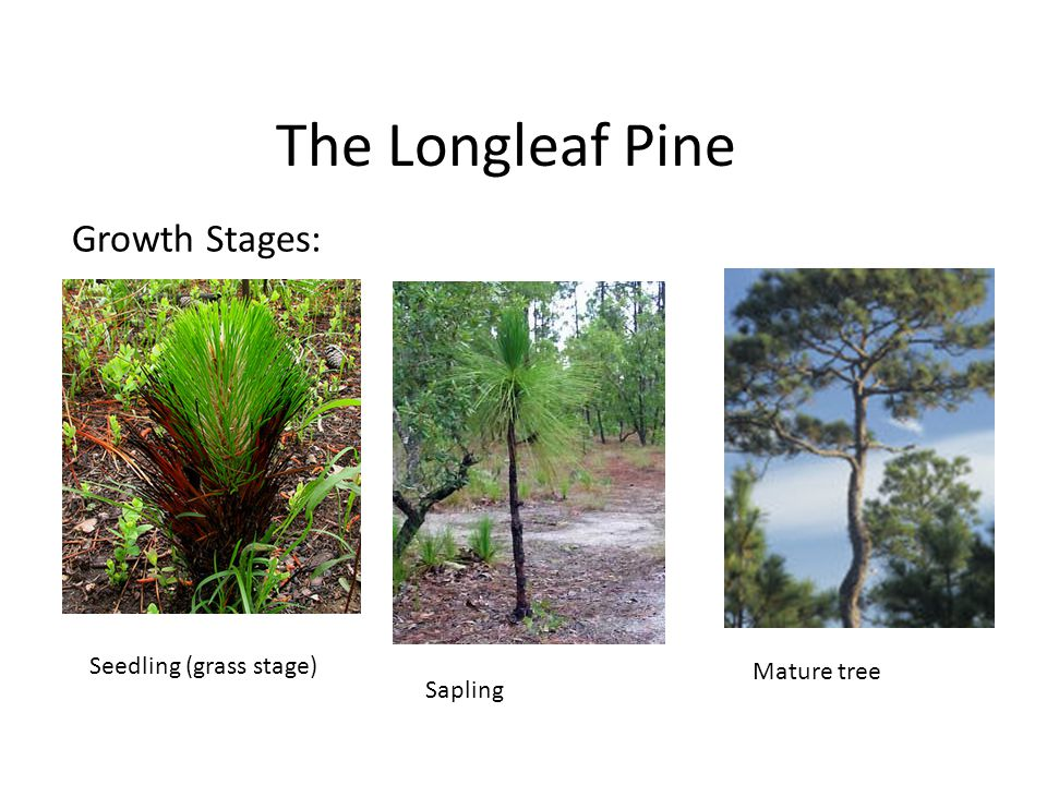 The Longleaf Pine Growth Stages: Seedling (grass stage) Sapling Mature tree