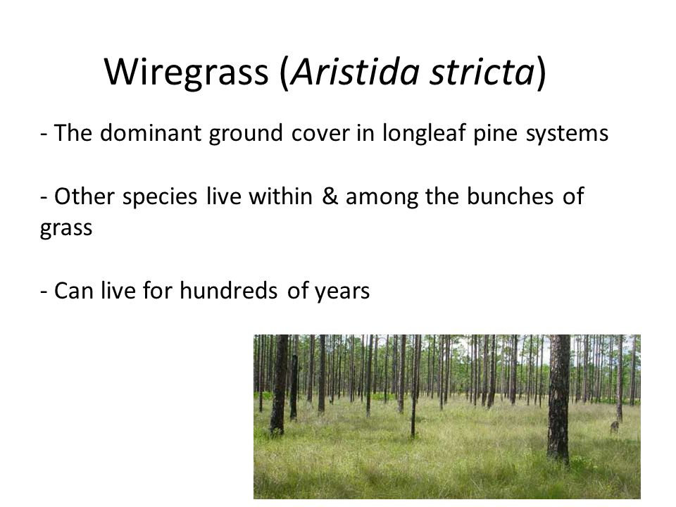 Wiregrass (Aristida stricta) - The dominant ground cover in longleaf pine systems - Other species live within & among the bunches of grass - Can live