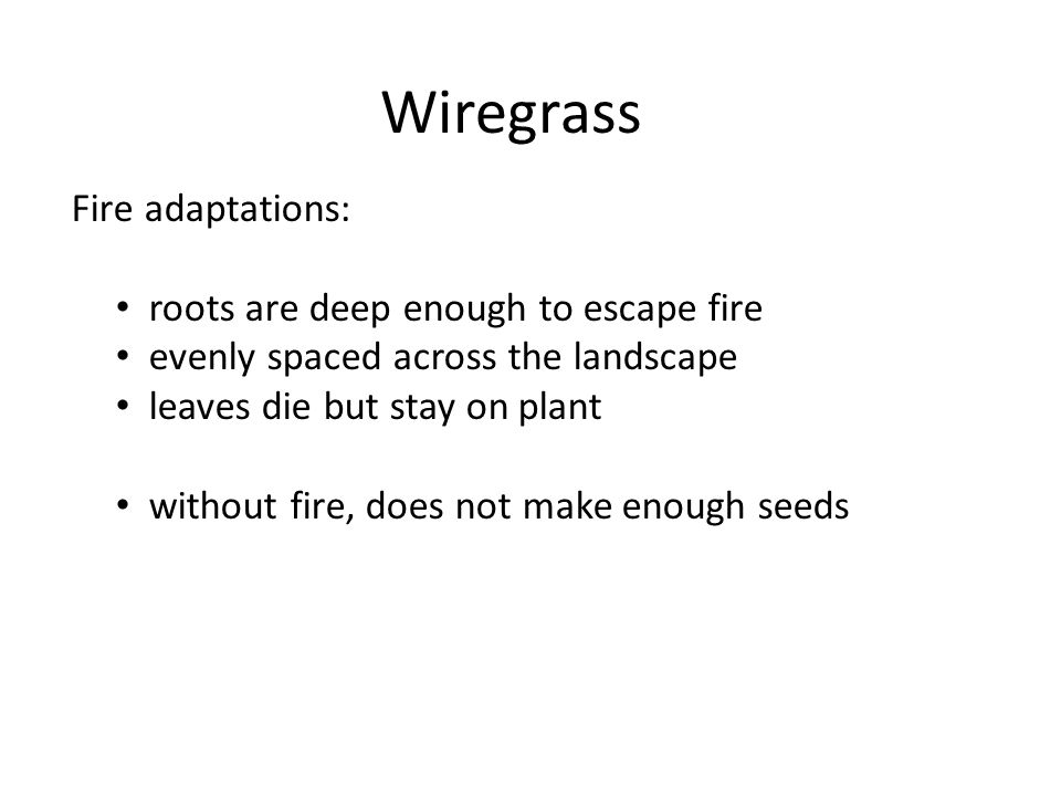 Wiregrass Fire adaptations: roots are deep enough to escape fire evenly spaced across the landscape leaves die but stay on plant without fire, does no