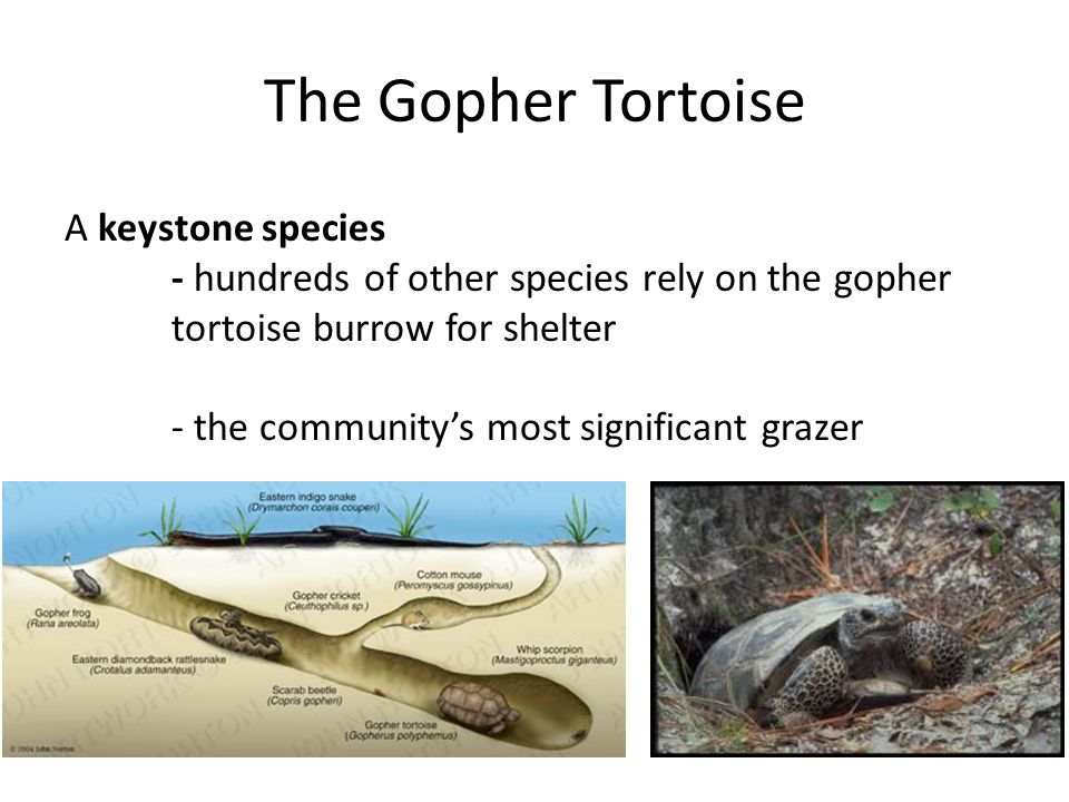 The Gopher Tortoise A keystone species - hundreds of other species rely on the gopher tortoise burrow for shelter - the community's most significant g