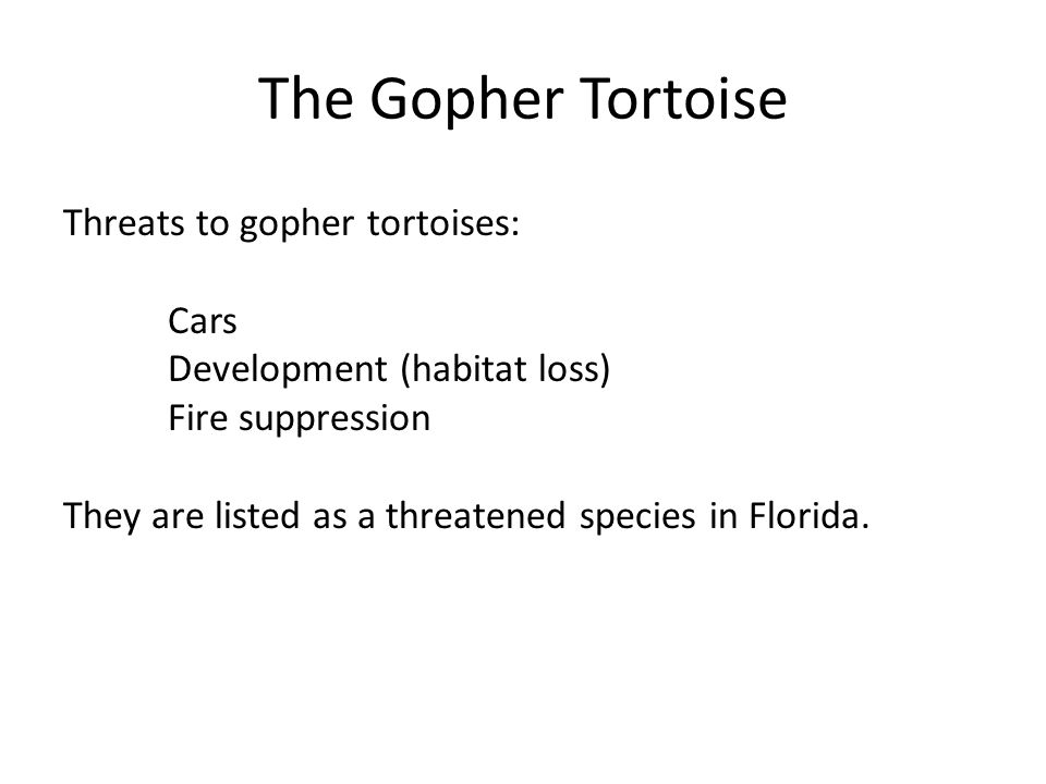 The Gopher Tortoise Threats to gopher tortoises: Cars Development (habitat loss) Fire suppression They are listed as a threatened species in Florida.