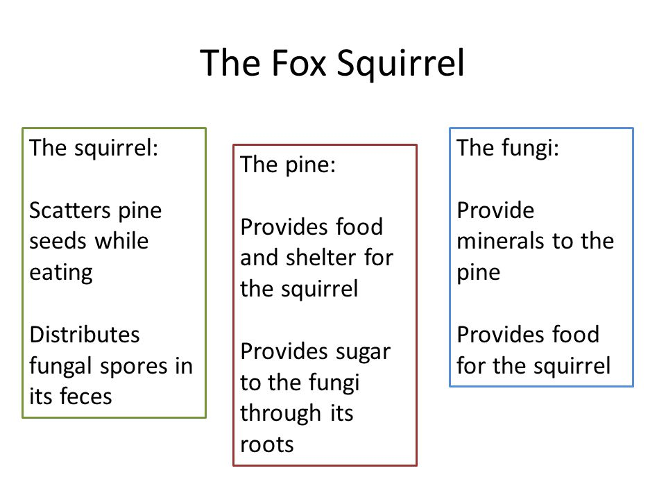 The Fox Squirrel The squirrel: Scatters pine seeds while eating Distributes fungal spores in its feces The fungi: Provide minerals to the pine Provide