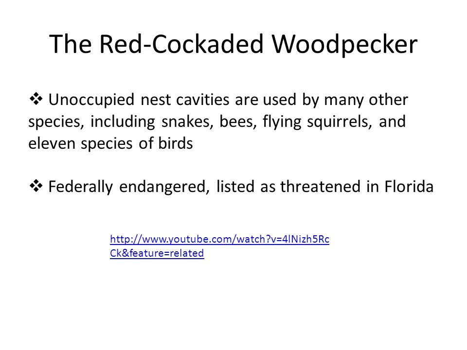 The Red-Cockaded Woodpecker  Unoccupied nest cavities are used by many other species, including snakes, bees, flying squirrels, and eleven species of birds  Federally endangered, listed as threatened in Florida http://www.youtube.com/watch?v=4lNizh5Rc Ck&feature=related