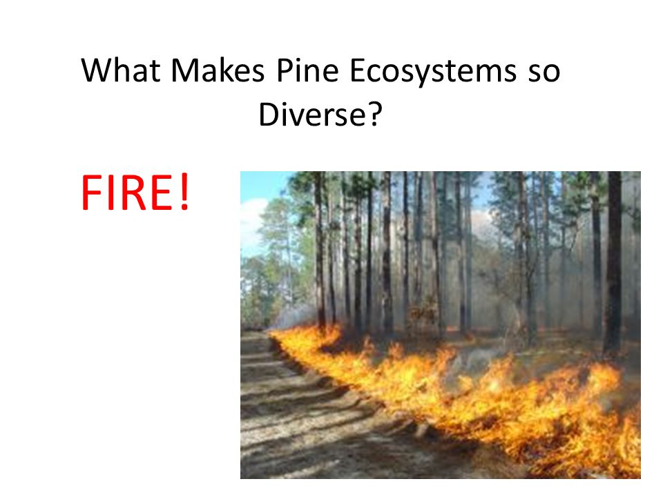 What Makes Pine Ecosystems so Diverse? FIRE!