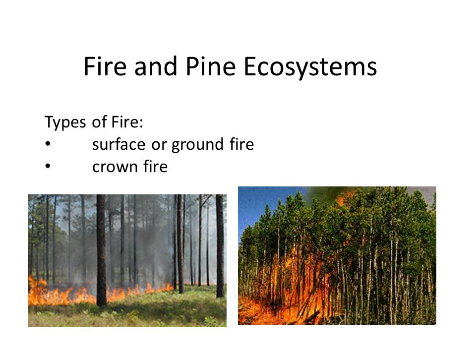 Fire and Pine Ecosystems Types of Fire: surface or ground fire crown fire