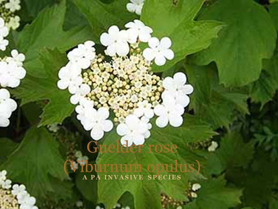 A PA INVASIVE SPECIES Guelder rose (Viburnum opulus)