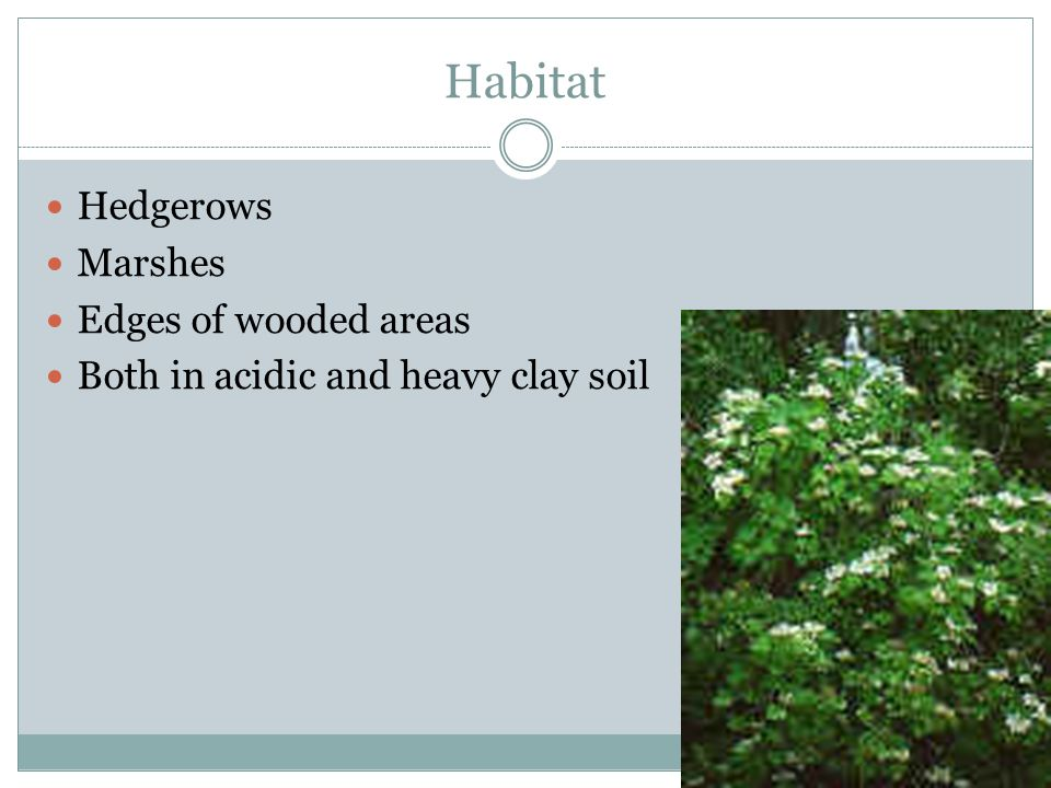Habitat Hedgerows Marshes Edges of wooded areas Both in acidic and heavy clay soil