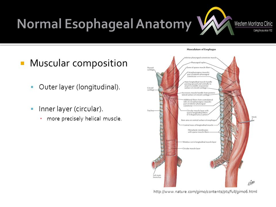  Muscular composition  Outer layer (longitudinal).  Inner layer (circular). ▪ more precisely helical muscle. http://www.nature.com/gimo/contents/pt
