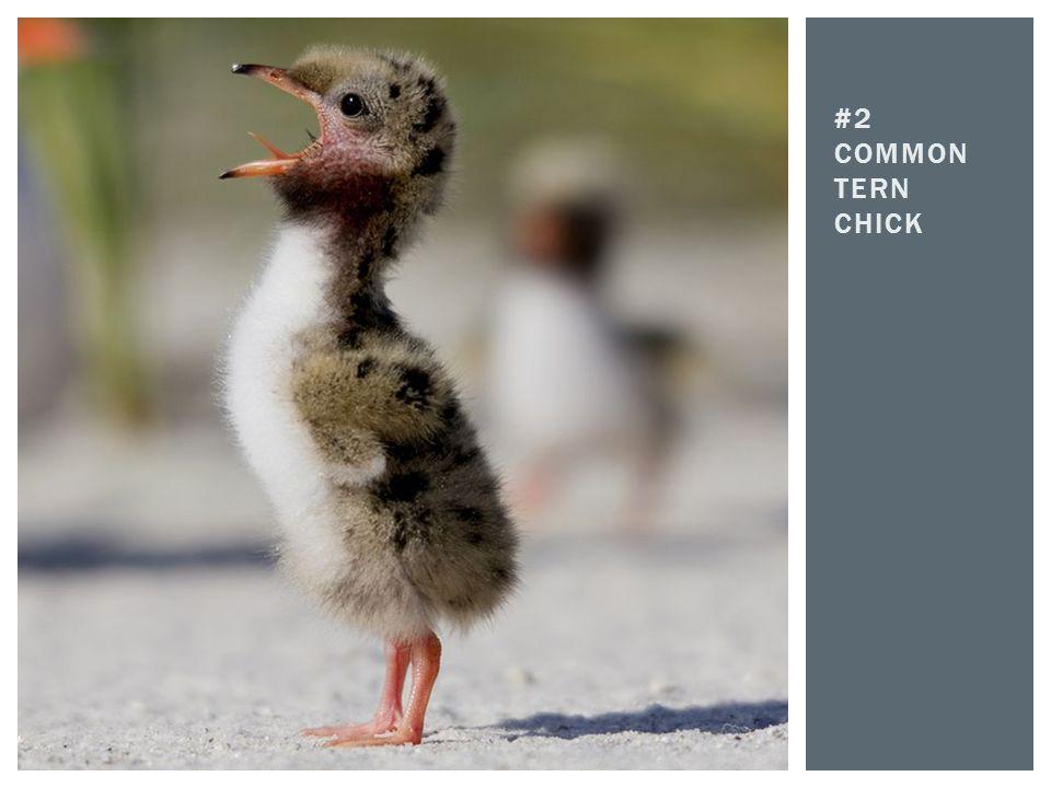 #2 COMMON TERN CHICK